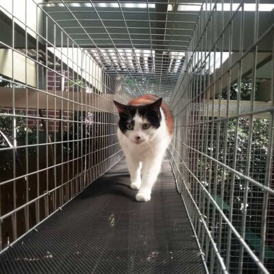 A cat walking through a cat enclosure tunnel